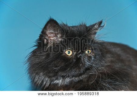 Persian cat young, small. Long, black hair. In the ears of long hair brush. Eyes of green color. Straight flat, under the head, neck of the white flock.