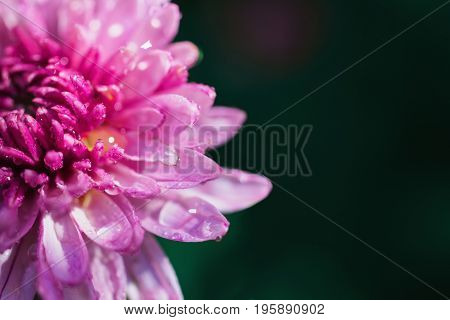 Pink summer flower with drops of water on a dark green background in a flower bed. Greeting card. Beautiful natural pattern. Greeting card with flower. Beautiful natural flower template. Beautiful summer flower. Spring fresh flower. Flower against the bac