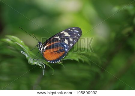 Terrific side profile of a zuleika butterfly sitting on a leaf.