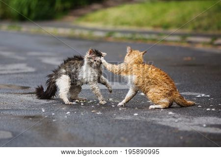 Street cat are fighting on the street. Orange and white gray wet cat are fighting on the road. Wild cat. Aggressive cat on the street. A dirty cat. Cat hair after a fight. Scary cat in the yard