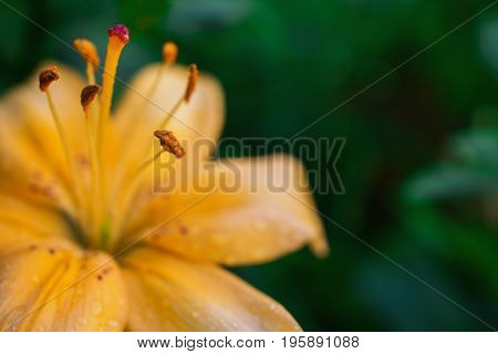 Lily with dew. White summer flower with drops of water on a yellow background in the flowerbed. Greeting card with flower. Beautiful natural flower template. Beautiful summer flower. Spring fresh flower. Flower against the background of summer nature