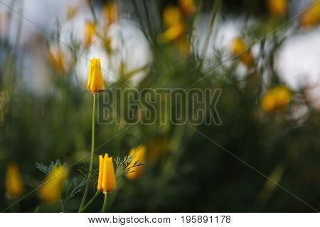 Yellow flower in the flowerbed. Greeting card with flower. Beautiful natural flower template. Beautiful summer flower. Spring fresh flower. Flower against the background of summer nature