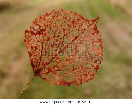 Single Fall Autumn Leaf With Holes