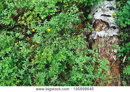 Birch log on background of swamp plants.
