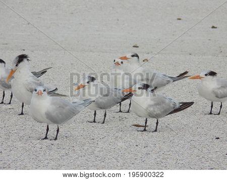 Flock of Sanibel Island Seagulls on the beach