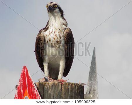 Bird of Prey Osprey Sanibel Island Florida