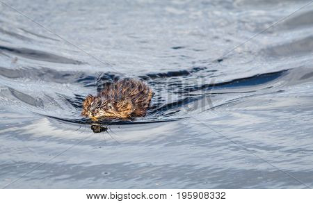 Muskrat (Ondatra Zibethicus) swims along in reflective and sparkling clear blue water