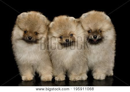 Three Groomed miniature Pomeranian Spitz puppies Standing on black isolated background, front view