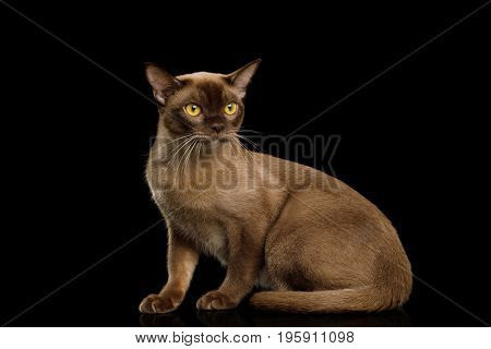 Chocolate Burmese Cat Sitting and Looking forward isolated on black background