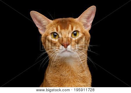 Portrait of Abyssinian Cat with curious face, isolated on black background, front view