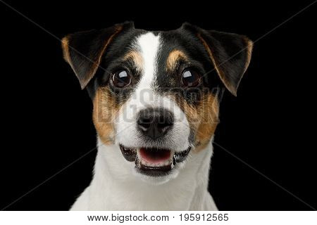 Closeup Portrait of Amazement Jack Russell Terrier Dog isolated on Black background