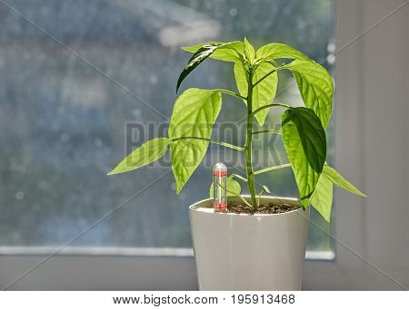 Close up of green seedlings growing in white pot on windowsill. Indoor pepper. new technologies. Bonsai