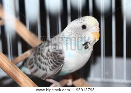 A Female Skyblue Budgerigar Parakeet in its Birdcage Sitting on a Ladder