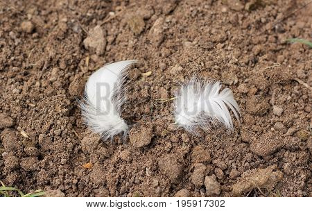 Two white feathers lie on brown ground in a stable