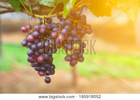 Ripe of red grapes fruits on the ranch at sunrise in Thailand.