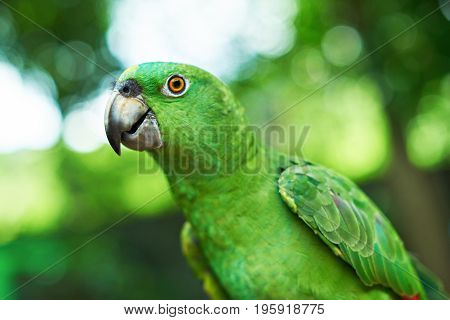 Portrait of domestic green parrot close up. Portrait of parrot looking in camera