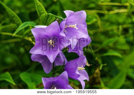 Campanula Flowers Or Bellflower On Green Background In Gardwn