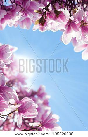 Pink magnolia flower on tree branch over spring background