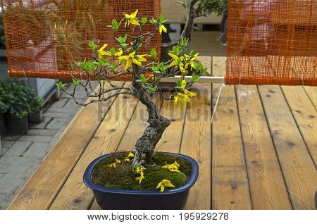 Blooming Forsythia - Bonsai In The Style Of