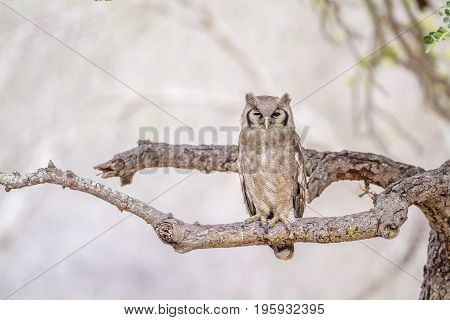 Verreaux's eagle-owl in Kruger national park, South Africa ; Specie Bubo lacteus family of Strigidae