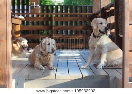 Golden retriever family. Animals and nature. On the countryside.
