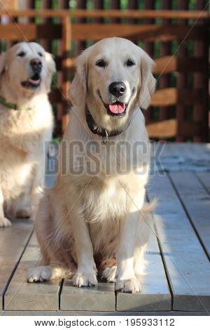 Golden retriever sitting on the terrace. Animals and nature.