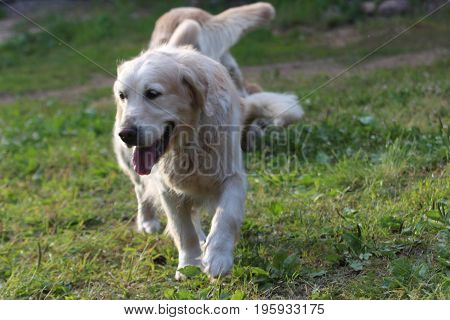 Golden retriever is running. Animal and nature.