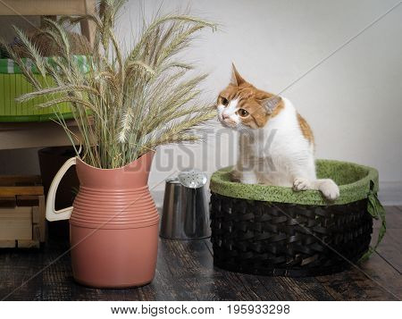 The cat sniffs the ears of wheat. Cat in a basket. Bouquet in a jug