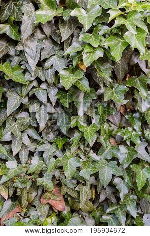 Hedera or ivy green in garden useful background