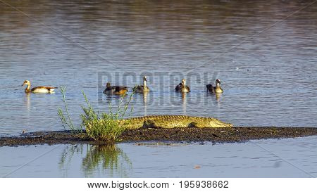 Nile crocodile and Egyptian goose in Kruger national park, South Africa ; Specie Crocodylus niloticus and Alopochen aegyptiaca