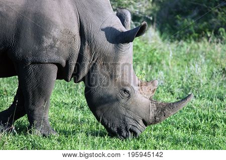 Adult male rhinoceros in the Kruger national Park. South Africa