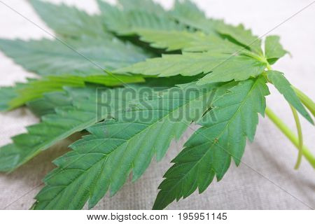 Cannabis Leaf Green Leaves Marijuana