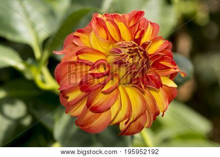Single apricot/orange and yellow Glenmarc Viva Dahlia growing in it's natural foliage setting. Shallow focus on just the flower head.