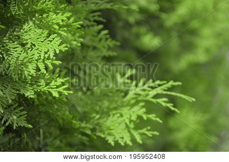 Abstract greenery background of Thuja trees leaves