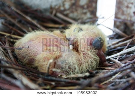 Chicks Of The Pigeon. Two Pieces