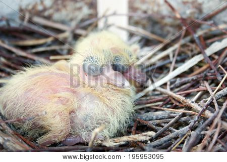 Chicks Of The Pigeon. Two Pieces. In A Nest Of Branches