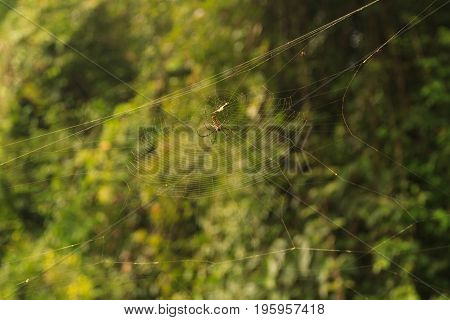 Nephila Maculata, Giant Wood Spider in Laos