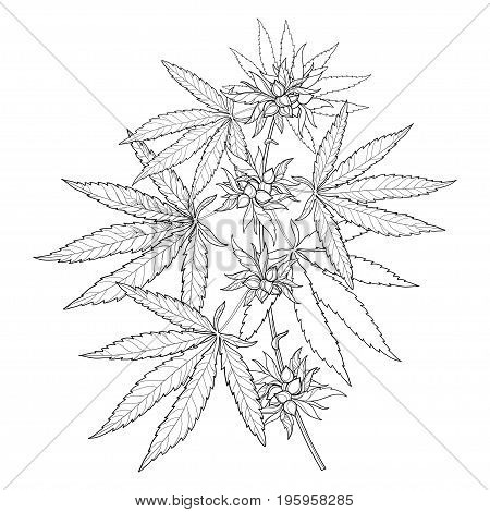 Vector bunch of outline Cannabis sativa or Cannabis indica or Marijuana. Branch, leaves and seed isolated on white background. Medicinal plant in contour style for summer design and coloring book.