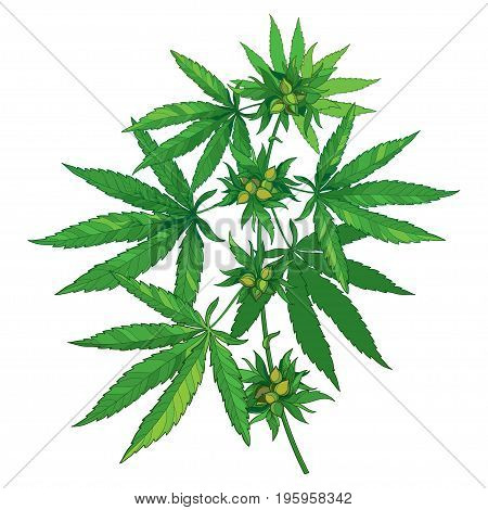 Vector bunch with outline Cannabis sativa or Cannabis indica or Marijuana. Branch, green leaves and seed isolated on white background. Medicinal plant in contour style for herbal summer design.