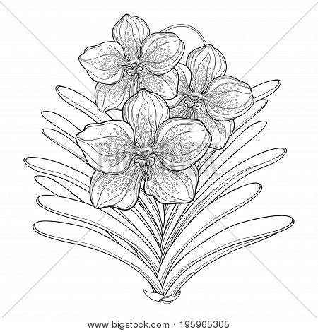 Vector bouquet with outline Vanda orchid flower and leaf isolated on white background. Epiphyte tropical flower. Exotic Vanda in contour style for summer design and coloring book.