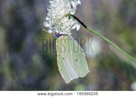 Light green butterfly Gonepteryx rhamni sitting on white flower. Butterfly Common brimstone is butterfly of Pieridae family feeding on white flower
