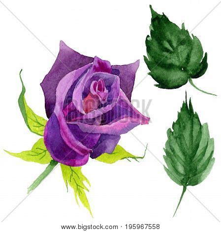Wildflower rose flower in a watercolor style isolated.