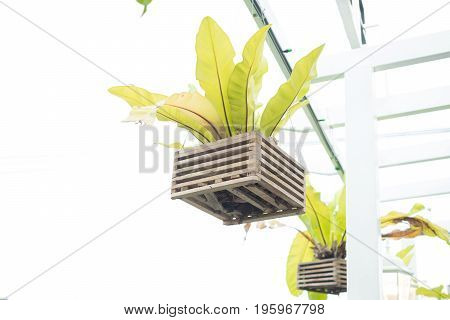 Hanging bird's nest fern with wooden vase. Isolate and clipping path