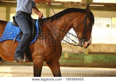 Unidentified male rider is training a young purebred stallion in the riding hall