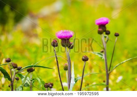 Meadow With Violet Flowers. Spring Or Summer Time.