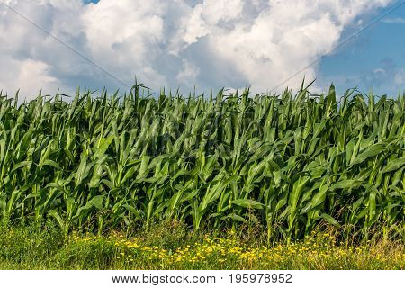 Tall Field Of Corn And Clouds