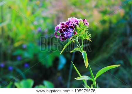 Carnation on the meadow. Pink carnation in the grass. Sun rays through the grass. Flower bouquet carnations. Flower Wallpaper for desktop