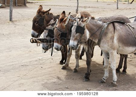 Four donkeys in the shore with a cart. Team village donkeys Botswana