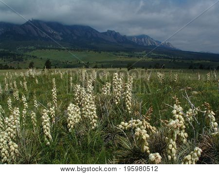Yucca plants in full bloom with Boulder flatirons in the background