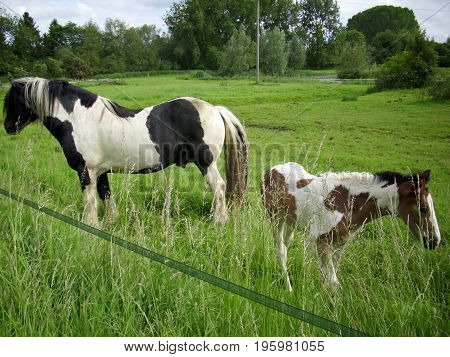 Piebald Horse And Foal